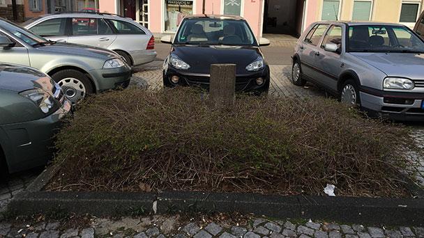 Schöne neue Linde für den Werderplatz – Bauminsel wird umgestaltet