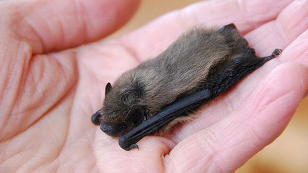 Einladung zu abenteuerlicher Exkursion zu den Fledermäusen – Auf der Suche nach den Jägern der Nacht