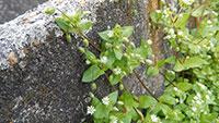 """Ungeliebt aber Pflanze des Monats Mai - """"Schon Pfarrer Kneipp empfahl das Kraut"""" - """"Vogelmiere schützt Weinbergen und Gärten im Sommer"""""""