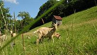 Maßnahmen nach Wolfsangriff in Gernsbach - Wolfsprävention für 24 Tierhalter
