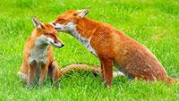 Füchse dringen in Wohngebiet vor – Katzen müssen um Futternäpfe fürchten – Maßnahmen in Gernsbach