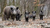 Wildschwein-Alarm in Rastatt – Massenvermehrung: Förster Martin Koch plädiert für Drückjagden