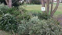 Daran möchte noch niemand denken - Stadt sammelt alte Weihnachtbäume ein