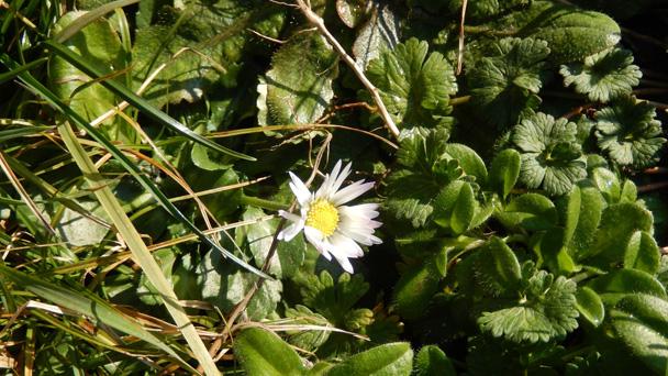 Umweltstiftung Rastatt huldigt dem Gänseblümchen - Pflanze des Monats Februar