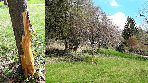 """Vandalismus im Kurpark in Gernbsach – Zierapfelbaum unwiederbringlich zerstört –  """"Strafanzeige gegen Unbekannt gestellt"""""""