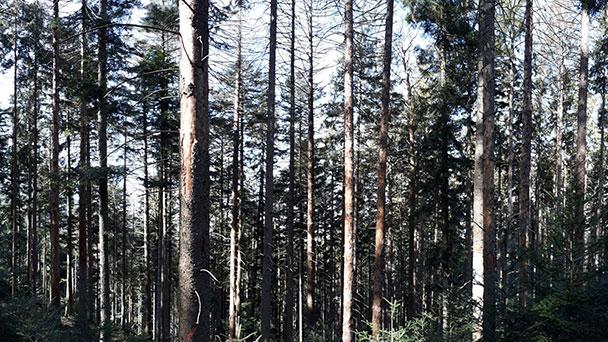 Invasion der Borkenkäfer – Nadelbäume sind Leibspeise von Borkenkäfern – Appell an Privatwaldbesitzer