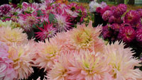 Die ziemlich schönsten Blumen Baden-Badens – Knollen- und Sträußeverkauf im Dahliengarten