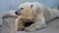 """Neue Eisbären im Karlsruher Zoo – Karlsruher Eisbär wegen guter """"Manneskraft"""" nach Hamburg umgezogen"""