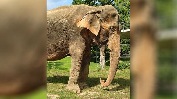 Traurige Nachricht aus Karlsruher Zoo – Elefantenkuh Nanda ist gestorben
