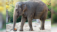 Neue Einwohnerin für Karlsruhe – Umzug der Elefantenkuh Saida aus Leipzig