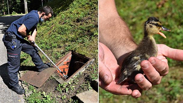Baden-Badener Feuerwehr rettet kleine Entenschar – Verhängnisvolle Erkundung am Solmssee
