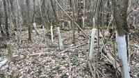 Baden-Badener Forstamt sucht freiwillige Helfer – Alte Plastikwuchshüllen einsammeln