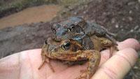 Milde Temperaturen lassen Kröten und Amphibien wandern – Stadt sucht Helfer
