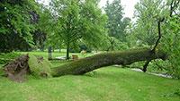 Eiche in Lichtentaler Allee umgestürzt – Über 130 Jahre alt