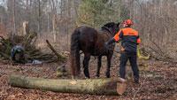 Pferde helfen im Stadtwald – Forstamt setzt Rückepferde ein
