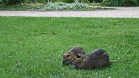"""Menschen locken Wildtiere in """"ihren eigenen Lebensbereich"""" – Stadt Gaggenau warnt vor Nutrias, die """"stark zubeißen können"""