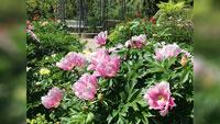 Rosa Rosen, Rosa Rosen – Pfingstrosenblüte im Baden-Badener Kurgarten