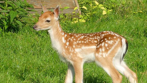 Gernsbacher Rathaus sorgt sich um Bambis – Hunde bedrohen Rehkitze