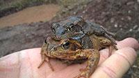Großaktion in Gaggenau für wandernde Kröten - 40 Bürger sorgen sich um Amphibien