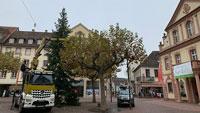 15 Meter hohe Weihnachten in Rastatt – 39 Jahre alte Tanne vor dem Rathaus