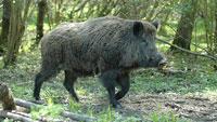 Schlau, gefräßig und schneller als der Mensch – Gaggenau leidet unter Wildschweinen - Jagdpächter über Schwarzwildbejagung informiert