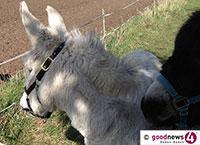 Polizei auf Jagd nach ausgerissenen Eseln in Baden-Baden – Unter Polizeischutz zurück auf die Koppel