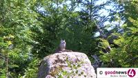 """Bewegung um den Nationalpark - Hotelier Schmiederer möchte Bären, Wölfe, Adler und  Elche - 20-Millionen-Grundig-Projekt hält mit """"Haus- und Hoftiere"""" im Tierpark dagegen"""