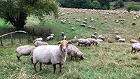 """Ministerium bestätigt Wolfsangriff in Gernsbach - Gerissenne Schafe wegen """"unzureichendem Herdenschutz"""""""