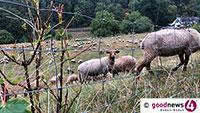 Wolf in Forbach – Fünf Schafe von Wolfsrüden gerissen