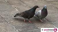 Tauben füttern kostet bis zu 1.000 Euro Strafe – Gernsbach macht aufmerksam auf Taubenfütterungsverbot