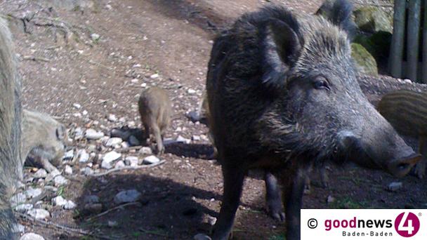 HEUTE GENAU VOR EINEM JAHR: Angeblich radioaktive Belastung von Wildschweinen in Baden-Baden – Staatsanwaltschaft bestätigt Eingang einer Anzeige