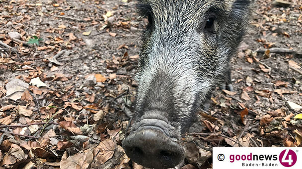 56 Prozent aller erlegten Wildschweine in Forbach über Grenzwert für Radioaktivität – Baden-Baden 0 Prozent – Baden-Baden muss sich Plausibilitätsfrage stellen