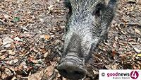 Wildschweine am Karlsruher Adenauerring – Verkehr auf 30 km/h beschränkt