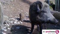 149 Wildschweine im Murgtal mussten dran glauben - Forstämter Rastatt und Baden-Baden beteiligt