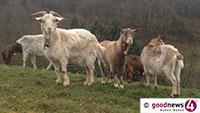 Wolf reißt Ziege in Forbach – Senkenberg-Institut bestätigt Verdacht